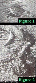 Potwór z Półwyspu Kaikoura