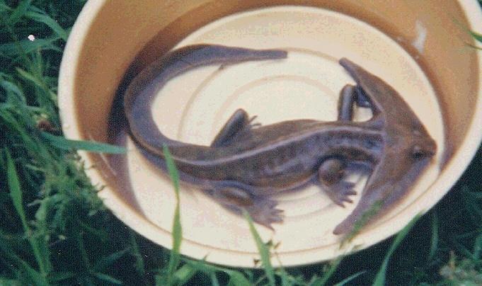 Prehistoryczny płaz (fałszywka)