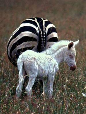 Zebra albinos