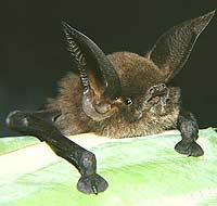 Nowy gatunek nietoperza z przyssawkami z Madagaskaru