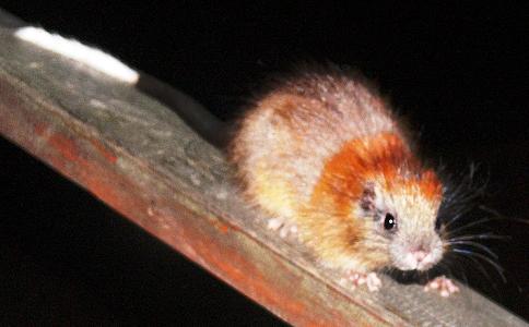 Szczur drzewny świętej Marty