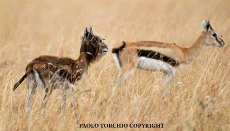 Nietypowa gazela Thomsona, sfotografowana w Kenii przez Paolo Torchio