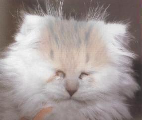 Kot z anoftamlią
