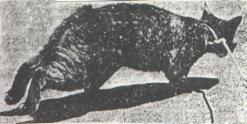 Królikot (tzw. cabbit)