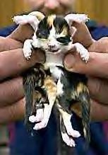 Kot (mutacja)