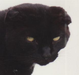 Kot ze zdeformowanymi (złożonymi) uszami