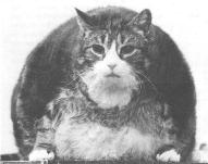 Kot (otyłość nienaturalna)