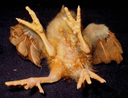 Kurczak - czteronogi