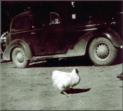 Mike - sławny bezgłowy kurczak (żył ponad rok bez głowy)