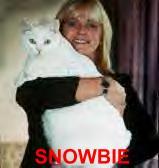 Kot Snowbie (otyłość nienaturalna)