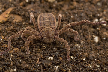 Nowy gatunek pająka (Ricinoides sp. n.)