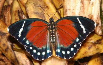 Leśnik zielony - okaz płci męskiej (Euphaedra zampa)