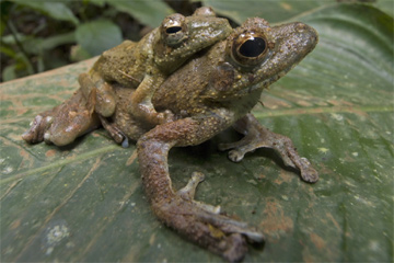 Przedstawiciele nowego gatunku żab Chiromantis rufescens