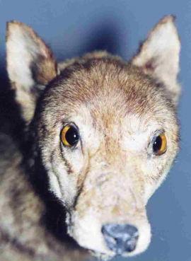 Japoński wilk karłowaty (głowa)- shamanu, okam