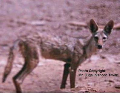 Niezidentyfikowany psowaty z Erytrei (najprawdopodobniej Canis lupus lupaster)