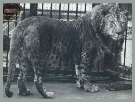Japoński leopon (hybryda lwa i lamparta)
