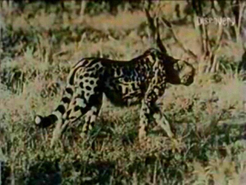 Nieznanego gatunku kot. Zdjęcie wykonane w Mozambiku (Afryka)
