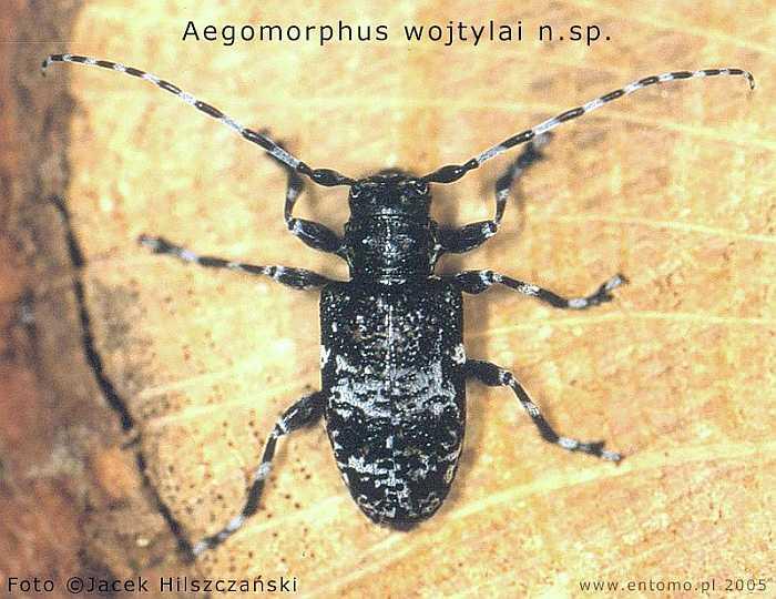 Aegomorphus wojtylai