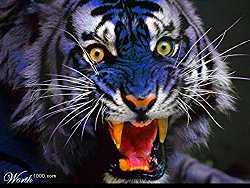 Błękitny tygrys