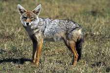 Szakal z rodziny Canis aureus