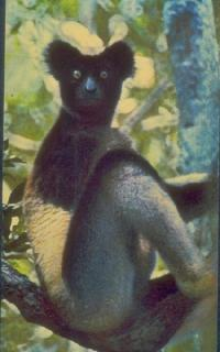 Lemur indri, bardzo podobny do kidoky