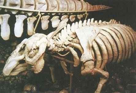 Szkielet krowy morskiej w Szwedzkim Muzeum Historii Naturalnej w Sztokholmie