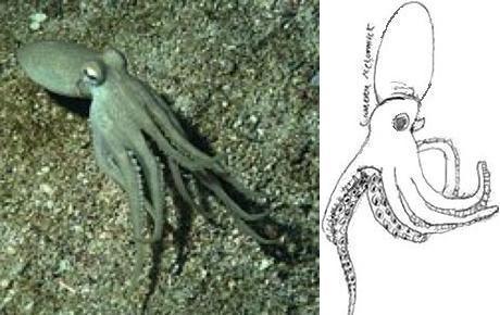 Octopus burryi