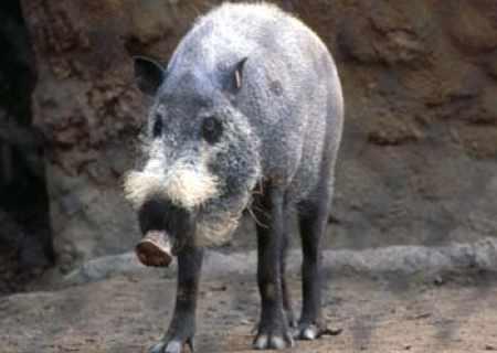 Świnia Sus