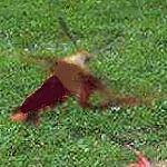 Rekonstrukcja wyglądu owada spod   Wadowic