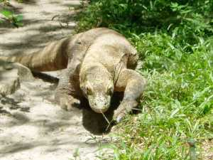 Waran z Komodo