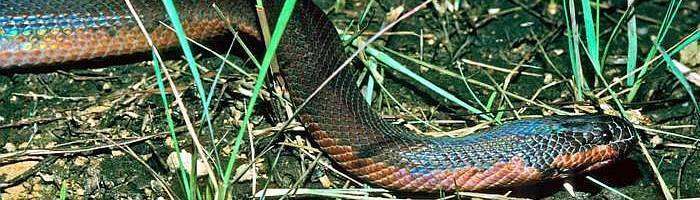 Wąż zmieniający   kolor